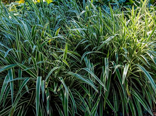 The autumn garden fall flowering plants for Ornamental oat grass varieties