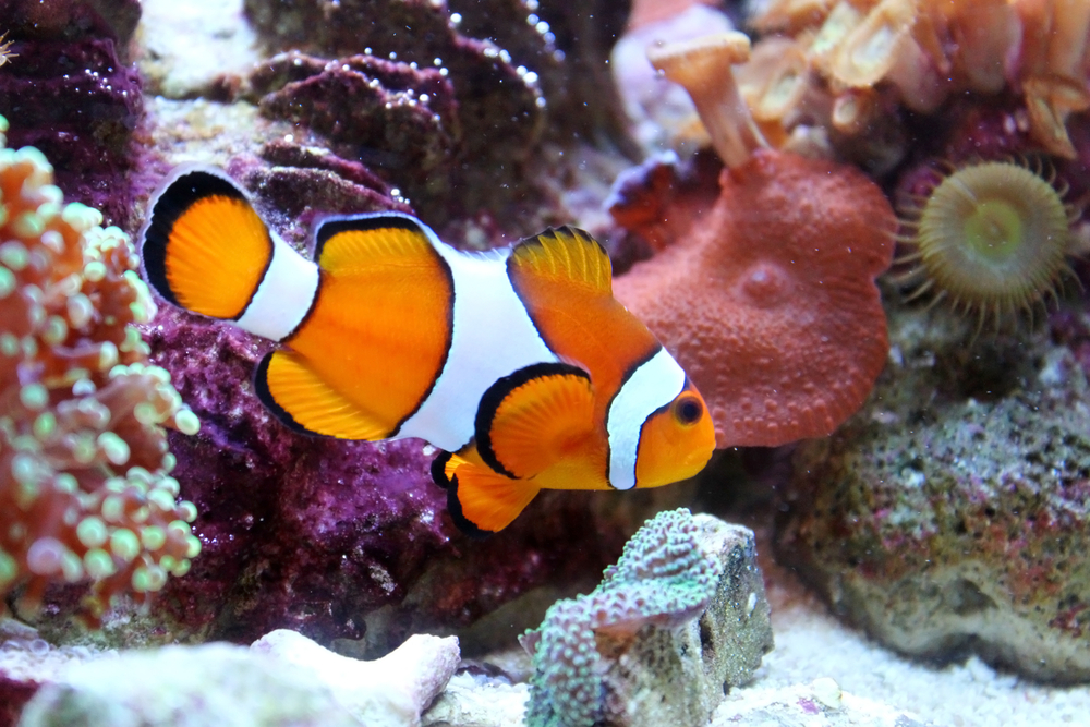 Into the blue how to care for your aquarium for Blue clown fish